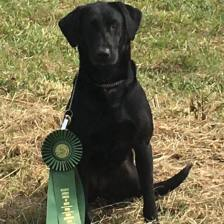 Docheno's Get Your Shine On (NFC AFC Robber's Stray Bullet x Drake's Prima Donna QAA MH) received a JAM in the Open at Central Savannah Field Trial in Lincolnton GA this past weekend! This was Shine's very first Open and she is only 36 months old! Owned by Chad and Lori Beard, handed by Al Arthur with Sandhill Kennels